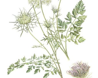 Wild carrot seeds to ship