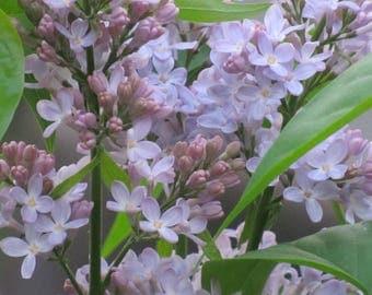 Purple Lilac photo art, canvas art, photo art, wall art, home decor, purple, flower photo, photography, Lilacs, nature photo