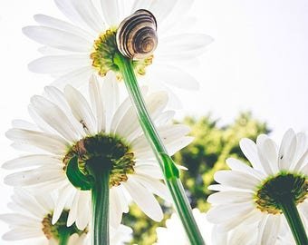 Daisy, snail, daisy picture, daisy print, snail picture, snail print, wall decor, decor, daisy decor, snail decor,