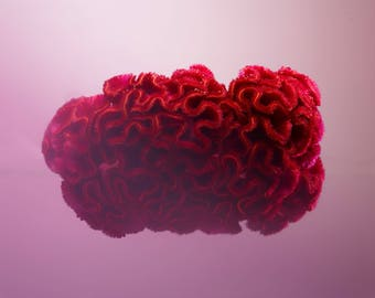 Celosia flower abstract photographic print