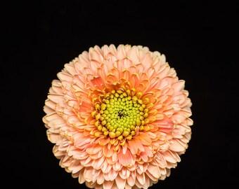 Pink Daisy, Light Green Art, Daisy Photograph, Flower Photography - Nursery Wall Decor, Nature Print, Botanical Prints, Floral Artwork, 8x8