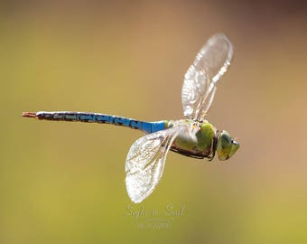 Flying Dragonfly Photo, Common Green Darner Dragon fly Wall Art, Nature Photography