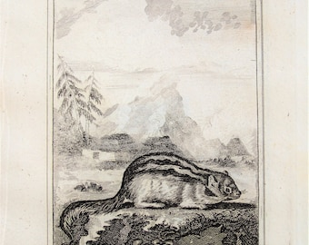 Antique Ground Squirrel or Marmot Print  - Old c. 1800 Antique Georgian Copper Plate Engraving by Buffon, Black and White