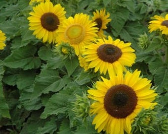 Sunflower Seeds, Yellow Sunflower Seeds, Sunflower Seed Mix, Yellow Sunflowers