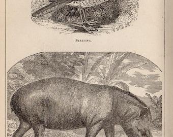 Antique Print, 1871 AMERICAN TAPIR STARLING, Engraving, beautiful wall art vintage engraved b/w illustration animals 138