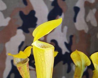 Carnivorous plant Sarracenia Alata bare root dorment rhizome