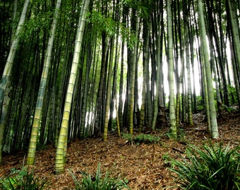 Bamboo Color Photo, Instant Digital Download