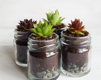 Sempervivum / Succulent Glass Jar Favours (Set of 4 Small  with Gravel Layer) - Gifts, Wedding Favours, Baby Shower Favours