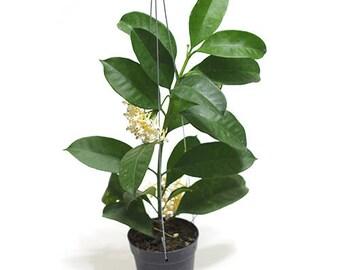 "Climbing plant or Shooting star Hoya aka "" Hoya multiflora Blume "" by Joinflower Joinfolia."