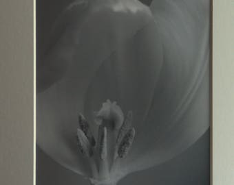Tulip, Mounted Photographic Print 9 x 7 inches. Flower, Tulip, Black and White,Monochrome,  Close Up, Art, Home & Office Decor