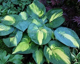 hosta Great Expectations (large)  ~ one of the MUST-HAVE hostas!