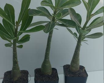 Desert rose plants, Three adeniums, display pots, succulent soil,well rooted Adenium obesum bonsai, will bloom white flowers