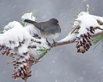 "Dark-eyed Junco in snow, birds in winter, Vermont wildlife, wildlife art, for bird lovers, Title : ""White Christmas"""