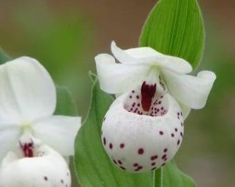 Cypripedium Ulla Silkens - Ulla Lady Slipper - Garden Hardy Orchid - Very Rare Breed
