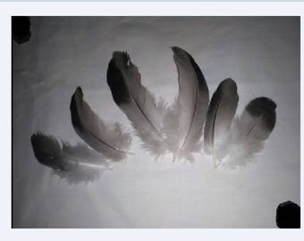 10 feathers confections premium various 10GO208