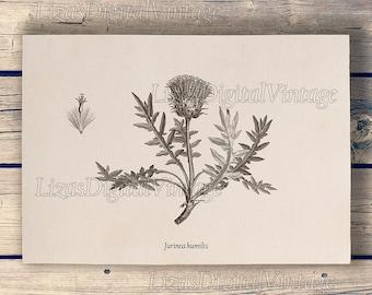 Botanical thistle wall art, 8x10, 11x14, A3 print, Printable art, Vintage botanical art, Thistle clip art, Thistle clipart, JPG, PNG files