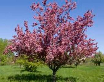 LIVE Potted Thunderchild Crabapple Tree 42-48+ Inches Malus x 'Thunderchild'