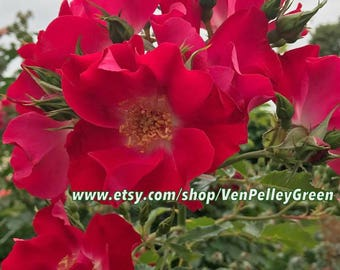 Rose Garden Prints - Photography - Floral - Flowers