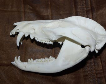 Opossum skull...real animal bone..beetle cleaned