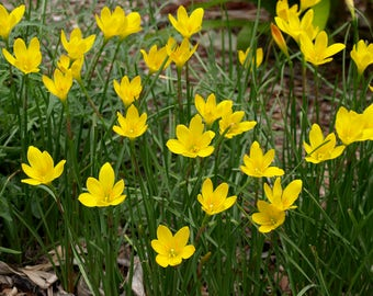15  Bulbs Zephyranthes citrina, Yellow Rain Lily Bulbs