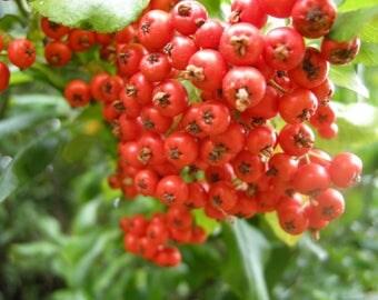 20 Pyracantha coccinea Seeds, scarlet firethorn Seeds