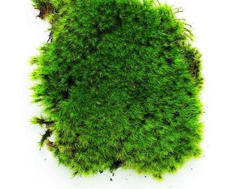 Live Moss , Cushion Moss, buy it by the quart or gallon bags lowest price on Etsy, 7 day a week growing info, customer support