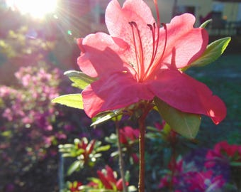 Pink Flower with Sun Flare Photo