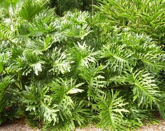 15 Lacy TREE PHILODENDRON Split Leaf Cut-leaf Selloum House Plant