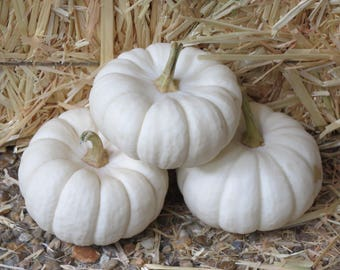 15 WHITE Baby Boo MINI PUMPKIN Miniature Cucurbita Pepo Vegetable Seeds