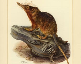 Vintage lithograph of the Hispaniolan solenodon from 1956