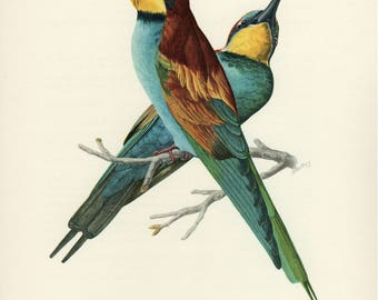 Vintage lithograph of the European bee-eater from 1953