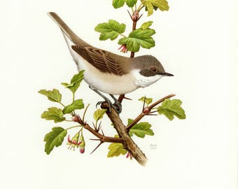 Vintage lithograph of the lesser whitethroat from 1957
