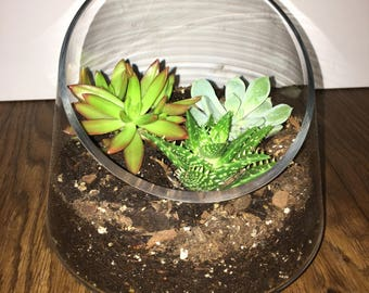 Glass Terrarium with 3 succulents