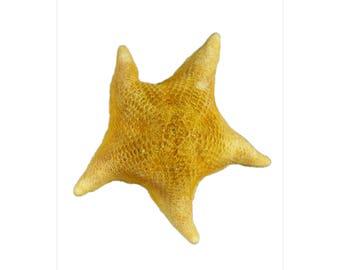 "3"" - 4"" Bat Starfish, 12 Piece, Mexico"