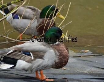 Nature photograph - Mallard Duck
