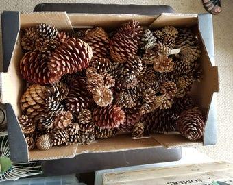 Selection of fir cones