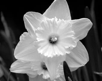 White Daffodils. Black and White Nature Photography Fine Art Print. Floral Wall Decor.