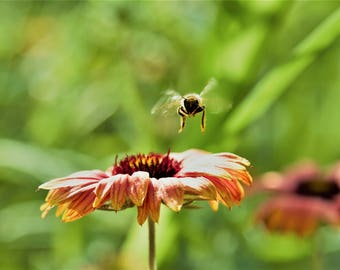 Macro shot of bee flying towards a native flower