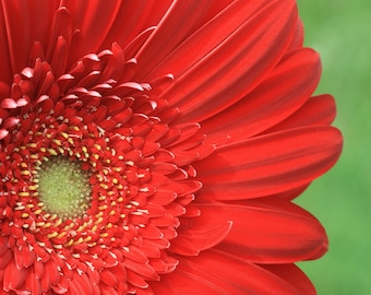 photograph, Red Daisy, flower, macro, red, close up, bright, summer, detail, canvas