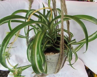 Spider Plant Bonnie in Hanging Pot with Macrame