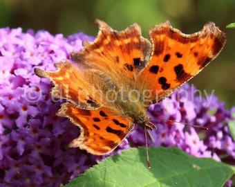 Comma Butterfly Wall Art
