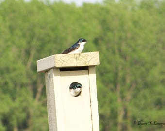 Tree swallows showing off their digs