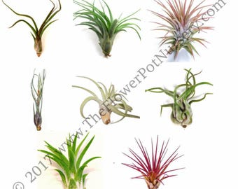 Lot of 10 Air Plants - Tillandsia spp. - Large Premium Assorted FREE SHIPPING