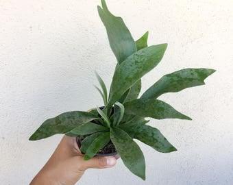 platycerium plant french staghorn fern indoor plants unique plant house plant rare houseplant