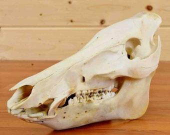 Real Red River Hog Skull