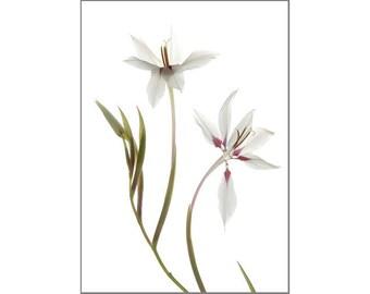 White Flower Art Print,  Peacock Lily, Scanned Flower, X-ray Effect, Minimalist Art