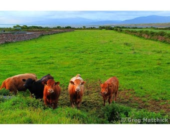 Fine Art Color Travel Photography of Cows in County Kerry Western Ireland