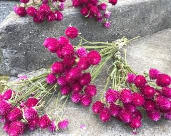 5 bunches of Carmine Pink Gomphrena (Globe Amaranth) - dried flowers