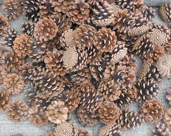 large lot 100 ponderosa pinecones larger sizes rustic weddings Christmas crafts fall decorating