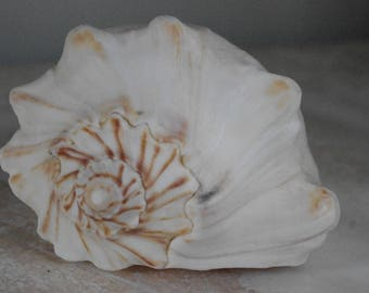 White Whelk with brown accents - Seashell - Conch Shell - Beach Decor